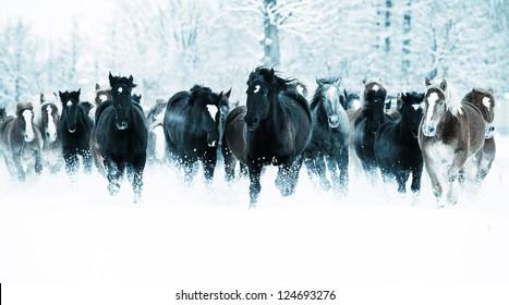 Horses run through