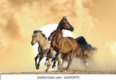 horses run in a wild on sunset