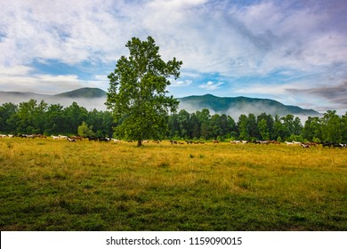 Horses Running Across a Field in Cades Cove in the Great Smoky Mountains Tennessee