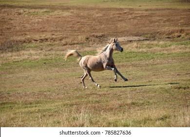Horses running in an open field, running wild.