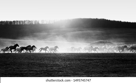 Horses running wild in a field with dust from their galloping hooves against a setting sun. Copyspace area for equine wilderness themes and designs. Black and White image.