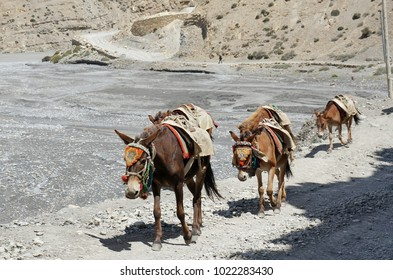 Horses, with a saddle for the carriage of cargo, go along the road, past the Kali Gandaki River. Upper Mustang. Nepal.