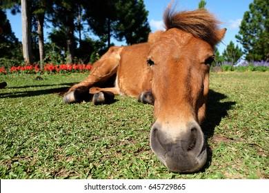 horses are sleeping on grass