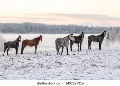 Horses standing in a snowy and frosty field in a beautiful winter sunset in Latvia