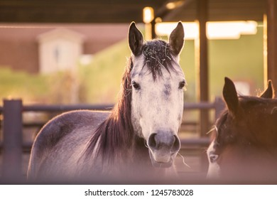 Horses standing in a stable area on an equestrian property. Main horse has white face with pieces of straw on its head.