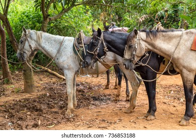 Horses in a tobacco farm in Vinales, Cuba