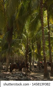 Horses under palm trees at the trail to Cabo San Juan in Tayrona NP in Colombia