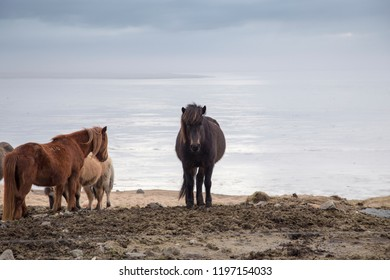 Horses at Vestrahorn mountains at Stokksnes beach in Iceland