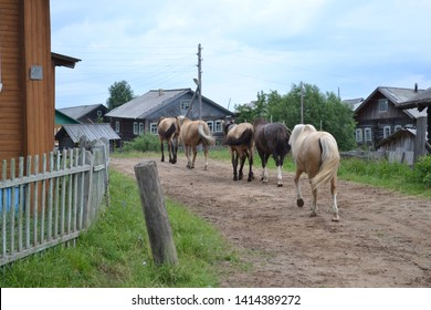 Horses are walking on the Russian villige street.