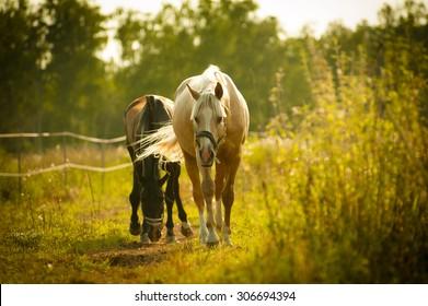 horses walking in paddock in sunset light