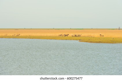 Horses in the wild along the shore of a lake
