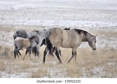Horses in Winter in Alberta Saskatchewan Canada