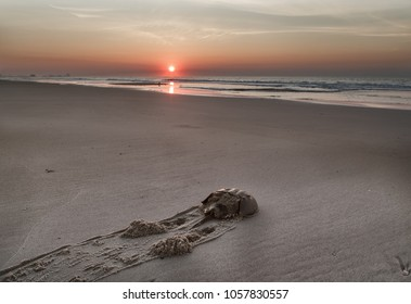 Horseshoe crab  crawls along the sandy beach to the ocean. Sunrise.Atlantic ocean beach. Md.USA
