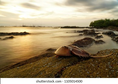 Horseshoe crab or King crab on the rock beach. Seascape and cloudscape on background. Selective focus and free space for text.