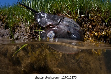 A Horseshoe crab (Limulus polyphemus) lives in a salt marsh on Cape Cod, Massachusetts.  This species is widespread along the Atlantic coastline often found in shallow areas in summer months.