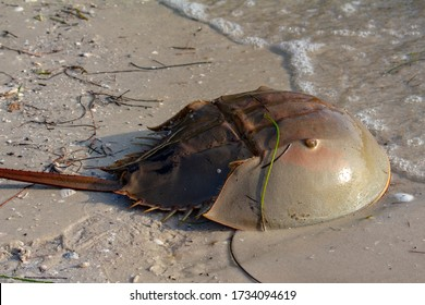 A Horseshoe Crab makes its way to the salty waters of the Gulf of Mexico.