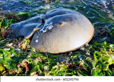 Horseshoe Crab on a Bed of Seaweed that Washed Up onto the Bay Beach
