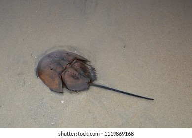 Horseshoe crab on sandy beach. Horseshoe crabs are marine arthropods of the family Limulidae on a beach in Malaysia. It's also known as Belangkas in Malay language.