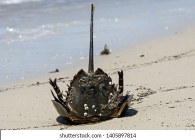 Horseshoe crab stranded on the beach after mating. They are marine arthropods of the family Limulidae. Their name is a misnomer, for they are not true crabs. They live in shallow coastal waters.