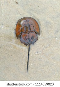 Horseshoe crabs are marine arthropods of the family Limulidae on a beach in Malaysia. It's also known as Belangkas in Malay language.