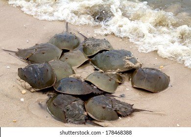 Horseshoe crabs spawning on the beach.