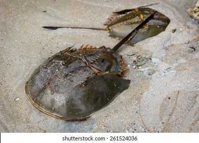 Horseshoe, Limulus polyphemus (lat. Xiphosura) Group has hardly changed in millions of years; modern horseshoe crabs look almost identical to prehistoric genera and are considered to be living fossils