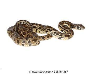 horseshoe snake isolated on white background