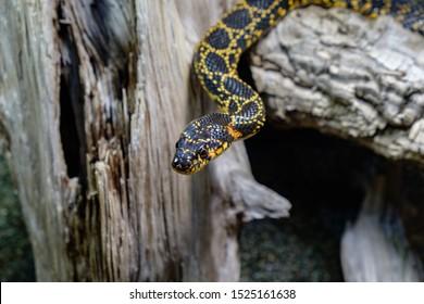 The horseshoe whip snake (Hemorrhois hippocrepis) in a terrarium