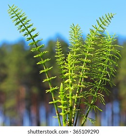 Horsetail or common Horsetail, or Tolkachik (Equisetum arvense) is a perennial herbaceous plant of the genus of the Horsetail family of horse-tails (Equisetaceae). Wild plants of Siberia
