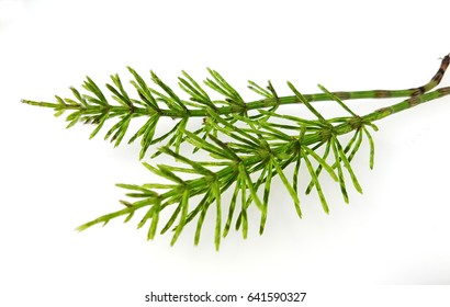Horsetail; Equisetum; arvense