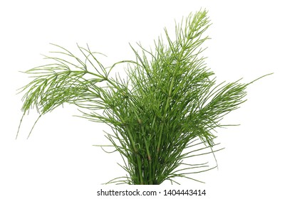 Horsetail fern, (Equisetum arvense) isolated on white background with clipping path