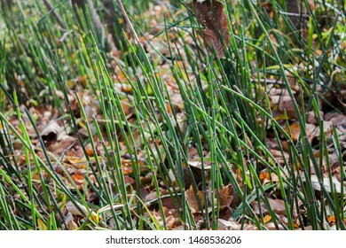 Horsetail in the forest. Green long horsetail growing in the forest. Autumn in Russia.