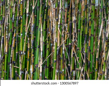 Horsetail reed bamboo A thin narrow reed often confused with bamboo, known as Equisetum Bamboo Grass, pipeweed and Horsetail reed, difficult to eradicate where it is not wanted.