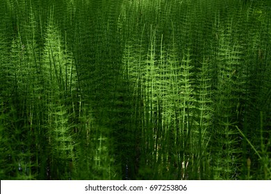 Horsetail in the sun. Best of Summer. Horsetail plant.
