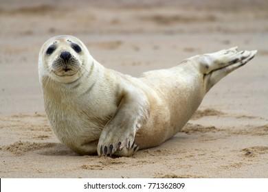 Horsey Grey Seals