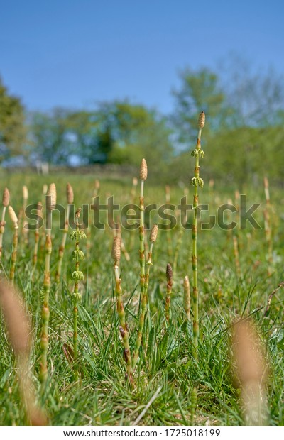 Horstail shoots growing ina meadow