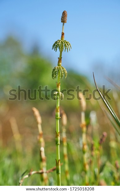 Horstail shoots in meadow - close up