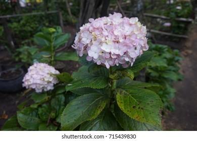 Hortencia flower in a garden of Cajamarca - Peru