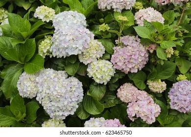 Hortencia flowers. Background