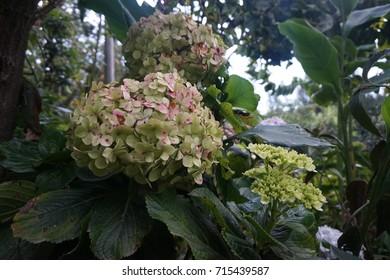 Hortencia Flowers in Cajamarca (Peru)