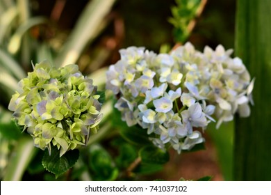 Hortencia flowers in the yard