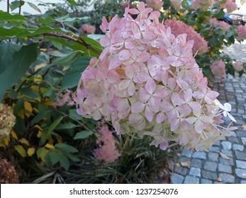 Hortencia in garden