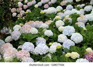 Hortencias Flowers