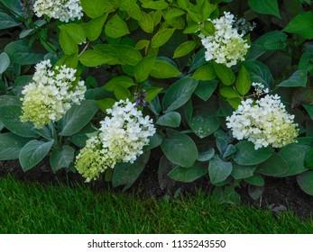 hortencias in a public garden during summer
