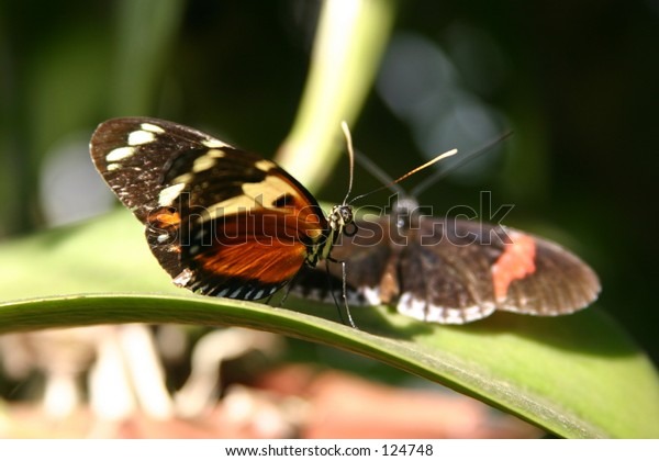 Hortense Butterfly in front with a Piano Key butterfly behind