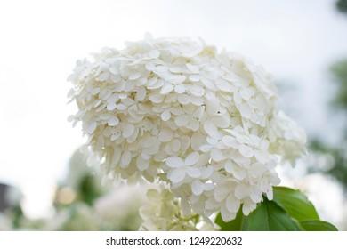 hortensia background, beautiful hortensia bloom in the garden, hydrangea in park