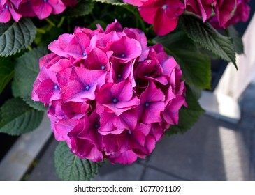 Hortensia, beautiful pink violet purple hortensia