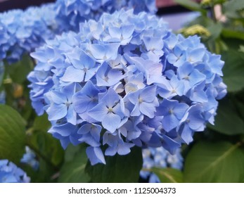 hortensia blooming blue