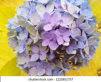 Hortensia flower, close up