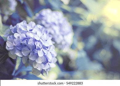 Hortensia flower, hydrangea flower, background.